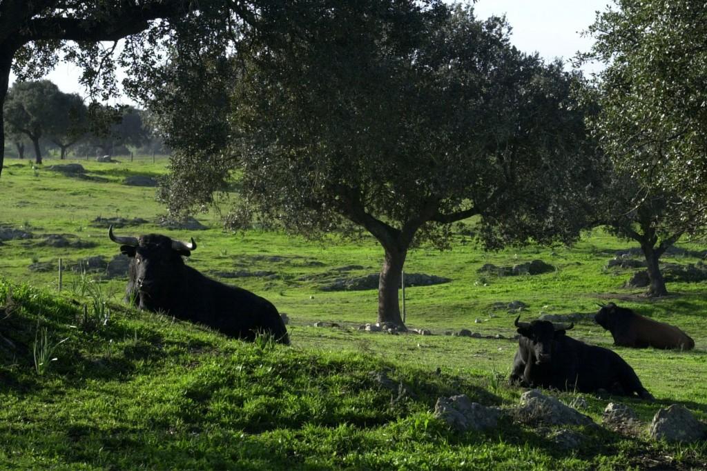 toros de lidia 4